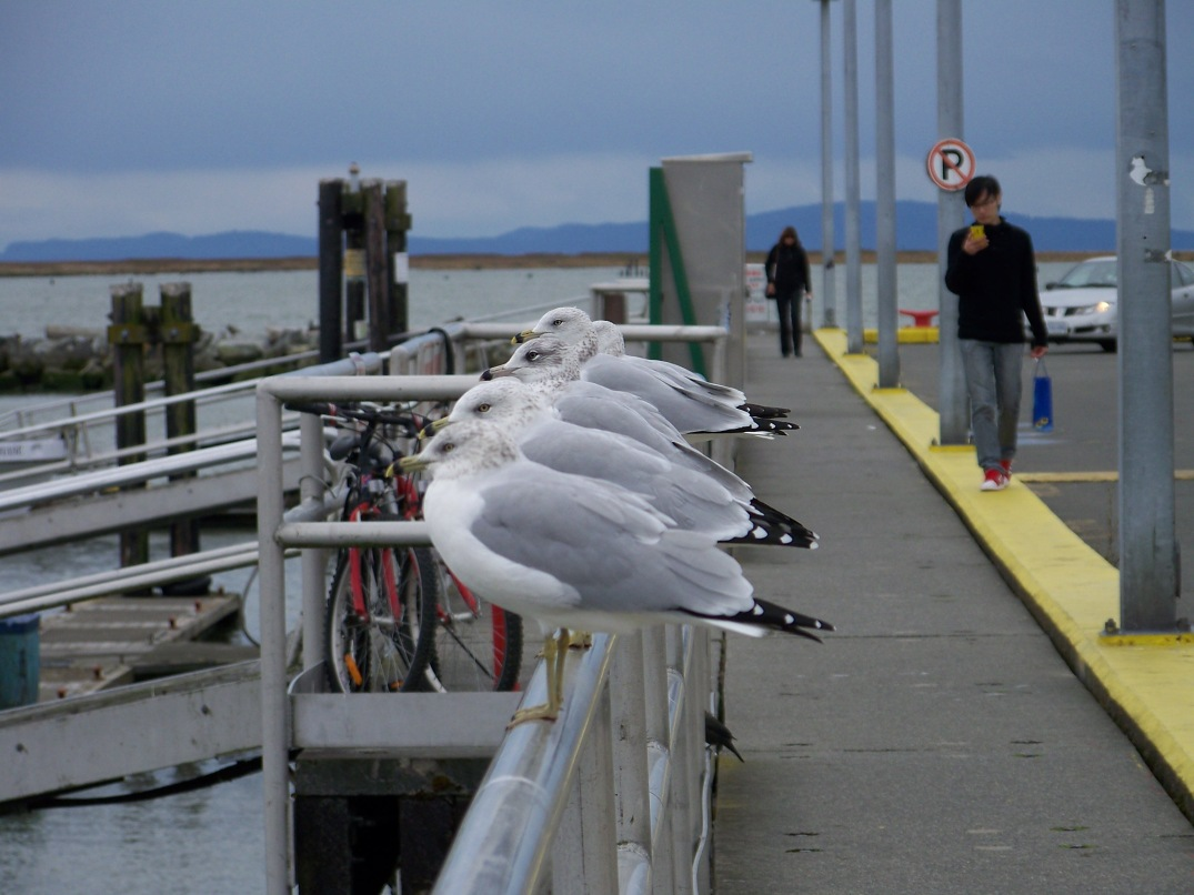 Steveston, home of the worlds tamest Seagulls...