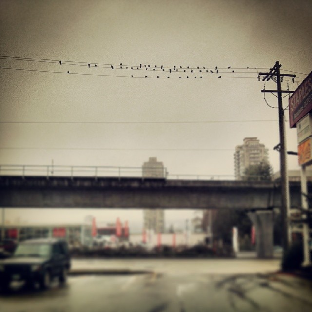 Day 2. A murder of crows near Brentwood Town Centre in Burnaby.